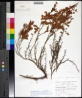 Image of Polygonum americanum