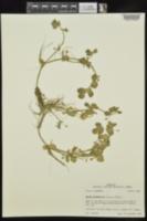 Bacopa rotundifolia image
