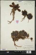 Sempervivum tectorum image