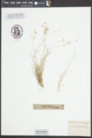 Bouteloua rigidiseta image