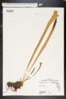 Image of Sarracenia leucophylla