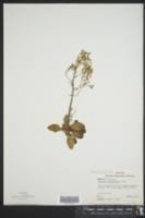 Micranthes virginiensis image