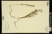 Image of Lysimachia graminea