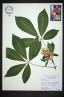 Aesculus sylvatica image