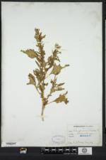 Oxybasis urbica image