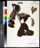 Trema micrantha image
