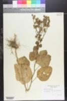 Image of Nicotiana noctiflora