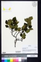 Image of Crataegus buckleyi