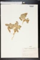 Croton setigerus image