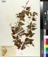 Image of Urvillea uniloba