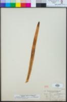 Agapanthus africanus image