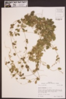 Galactia regularis image