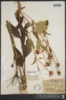 Rudbeckia fulgida var. speciosa image