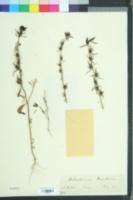 Misopates orontium image