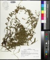 Stylisma aquatica image