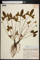 Image of Viola esculenta