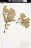 Arctostaphylos knightii image