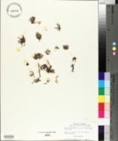Image of Tillaea drummondii