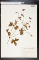 Geranium palustre image