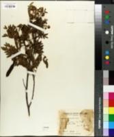 Image of Cassia hookeriana