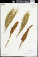 Image of Grevillea eriostachya