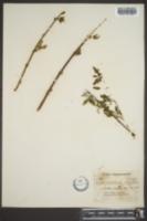 Image of Forsythia europaea