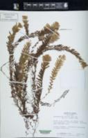 Hymenophyllum sericeum image