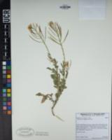 Diplotaxis erucoides image