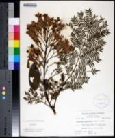 Image of Jacaranda acutifolia