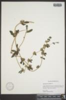 Image of Ipomoea procumbens