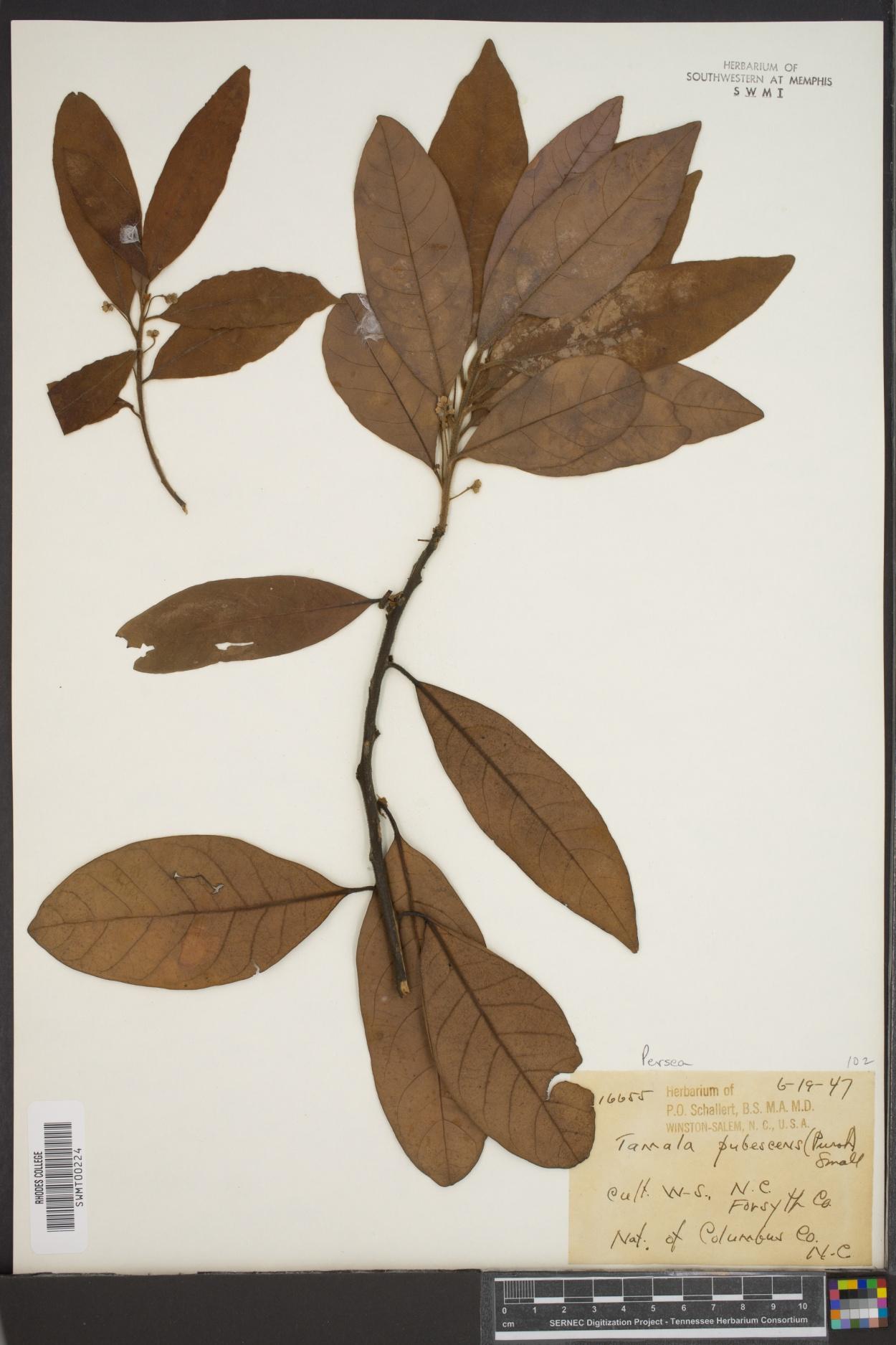 Tamala pubescens image