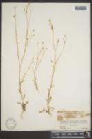 Gilia abramsii image