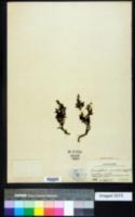 Image of Dendrophthora cupressoides
