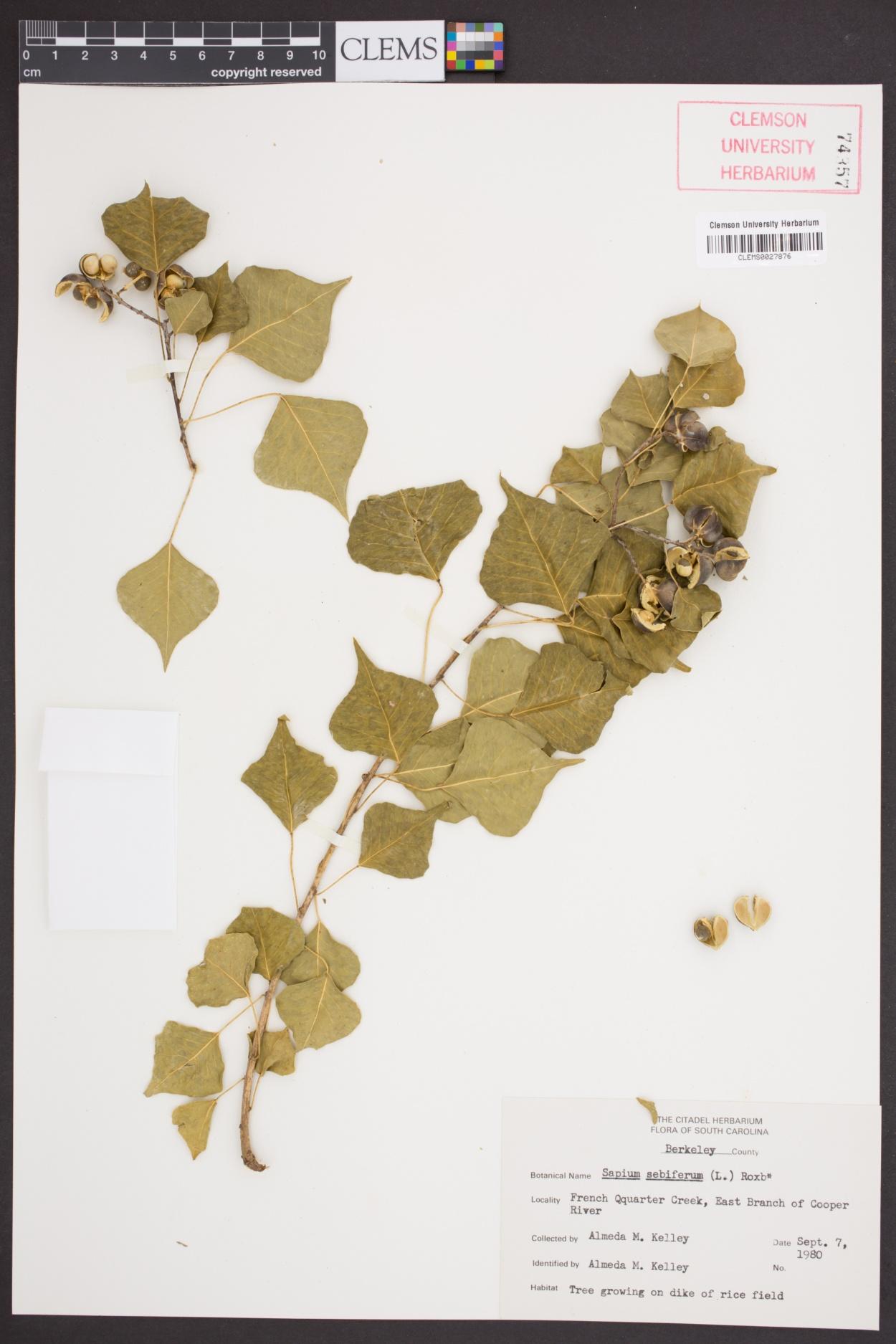 Sapium image