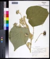 Abutilon hulseanum image