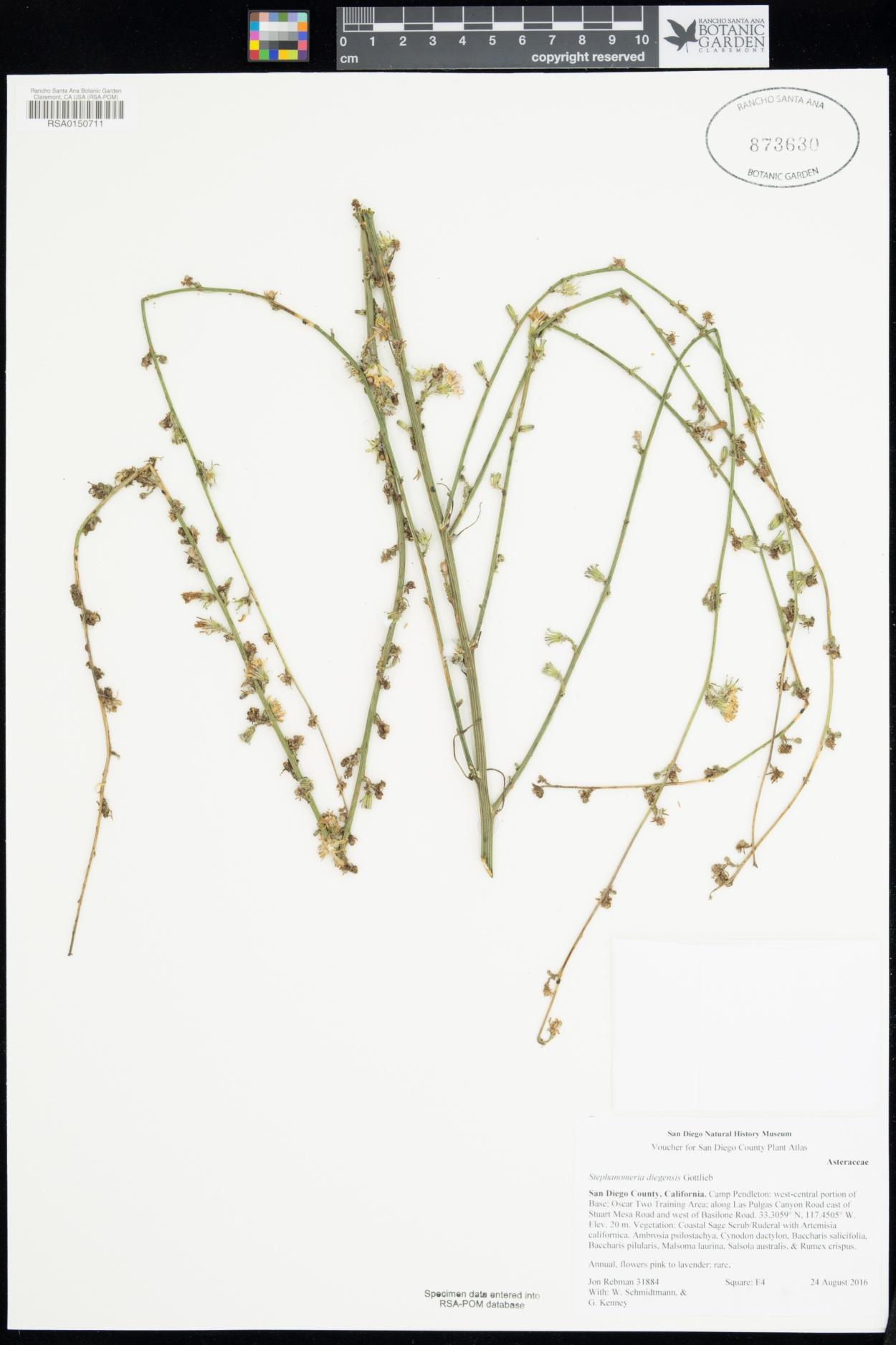 Stephanomeria image