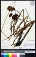 Cyperus drummondii image