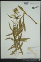 Oenothera tetragona image
