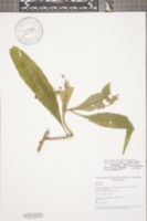 Image of Pseudorhipsalis himantoclada
