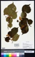 Tilia insularis image