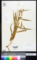 Leersia lenticularis image