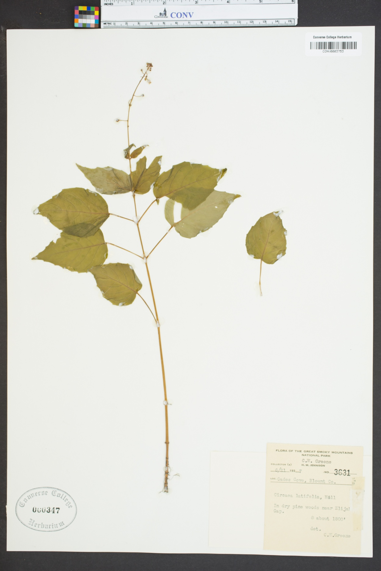 Circaea canadensis ssp. canadensis image