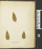 Uncinula polychaeta image