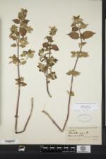 Ballota nigra subsp. foetida image