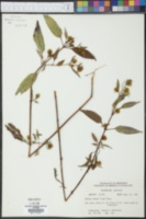 Bidens coronata image