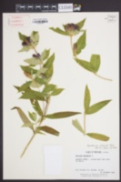 Gentiana clausa image