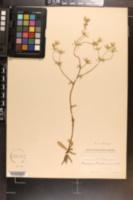 Eryngium beecheyanum image