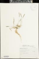 Image of Sporobolus pilifer