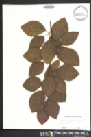 Fagus sylvatica var. atropunicea image