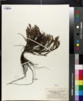 Hudsonia tomentosa var. intermedia image